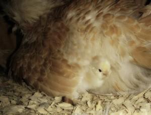 kippen houden| Kuikens