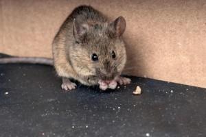 muis-rat