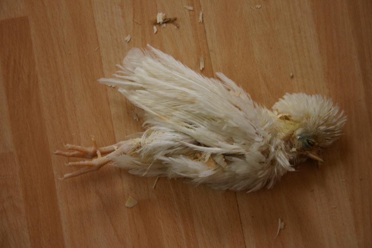 kip dood