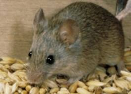 kippen houden muizen op bezoek