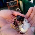 Kippen houden |Kuikens uitbroeden