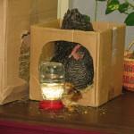 Drinkfles kuiken| Kippen houden