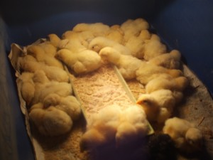 Kuikens|kippen houden