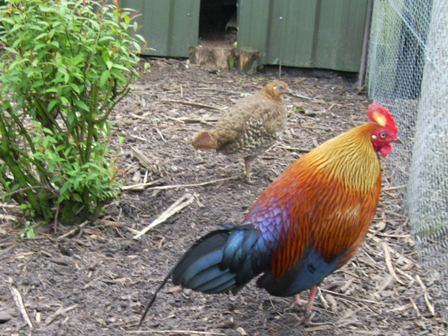 kippen houden| Geschiedenis