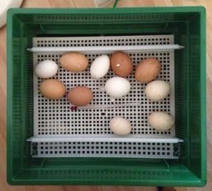 kippen-boerderij