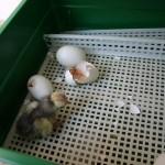 covina broedmachine|Kuikens|kippen houden