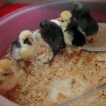 Covina 25 broedmachine|kippen houden